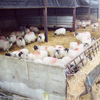 sheep_in_pens100